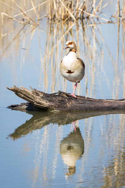 Egyptian Goose, Rietvlei, South Africa, July 2016