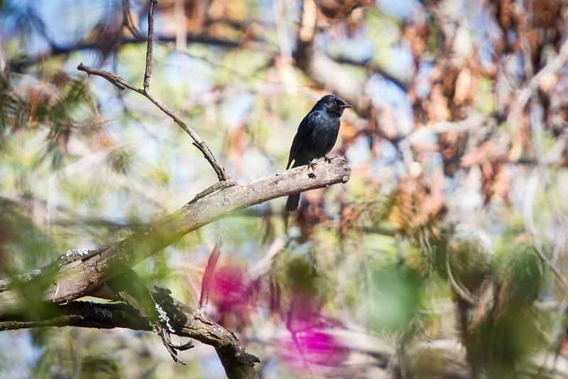 Southern Black Flycatcher, Seringveld Conservancy, South Africa, September 2015