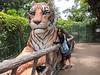 Two Tigers at the Bangkok Dusit Zoo