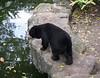Black Bear at the Bangkok Dusit Zoo