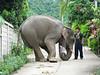 Elephant handling at Ban Ruammitr (Karen Village)