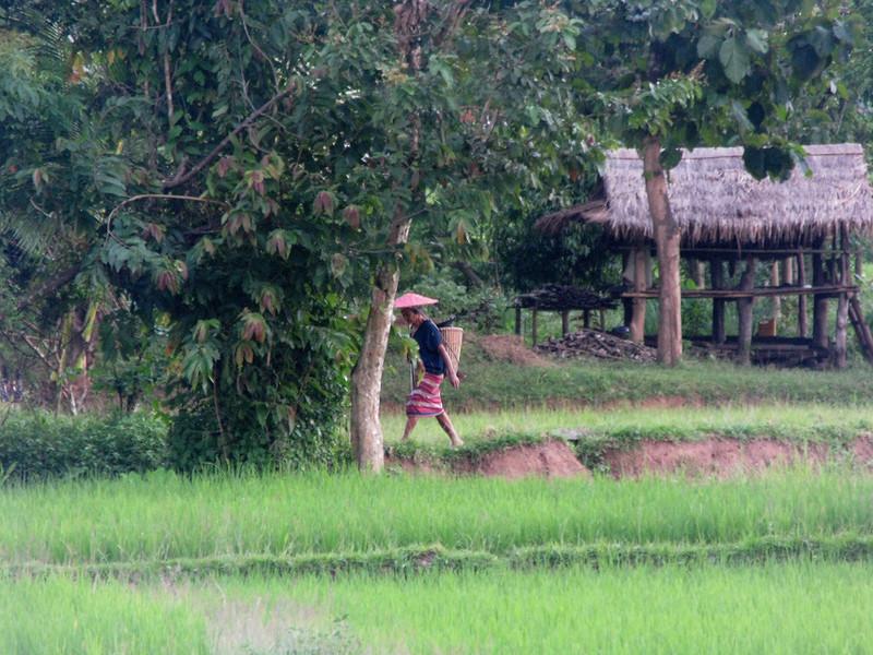 Karen people working the rice fields
