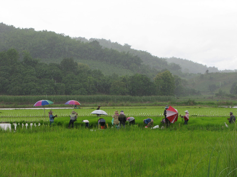 Karen people working the rice fields in the rain.