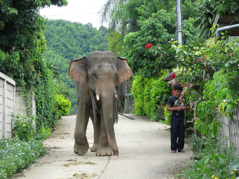 Elephants at the Karen Village (Ban Ruammitr)