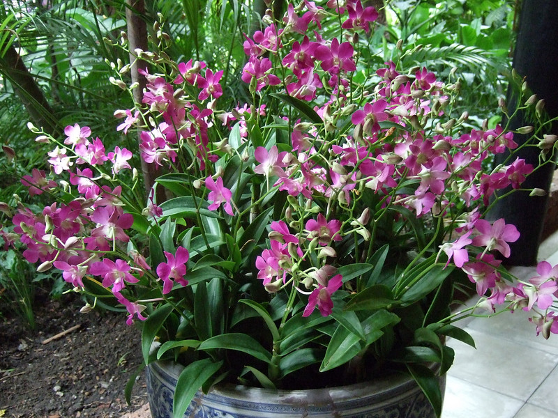 Orchids at the Jim Thompson House Gardens