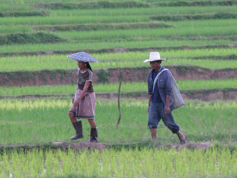 Mae Sai working in the Fields
