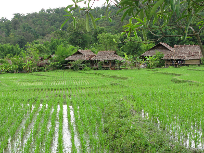 Tribes growing rice ....