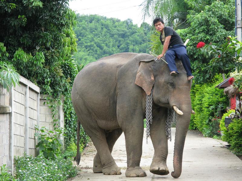 Elephants at the Karen Village (Ban Ruammitr).