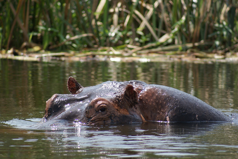 Hippopotamus. Did you know that this is the second most dangerous animal to man? This animal is extremely fast too, I know because I got chased by one.