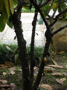 A cacao tree at the Museo de Arte Colonial - Caracas, Venezuela ... September 23, 2005 ... Photo by Rob Page III