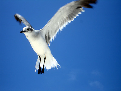 A Seagull - Los Roques, Venezuela ... October 2, 2005 ... Photo by Rob Page III