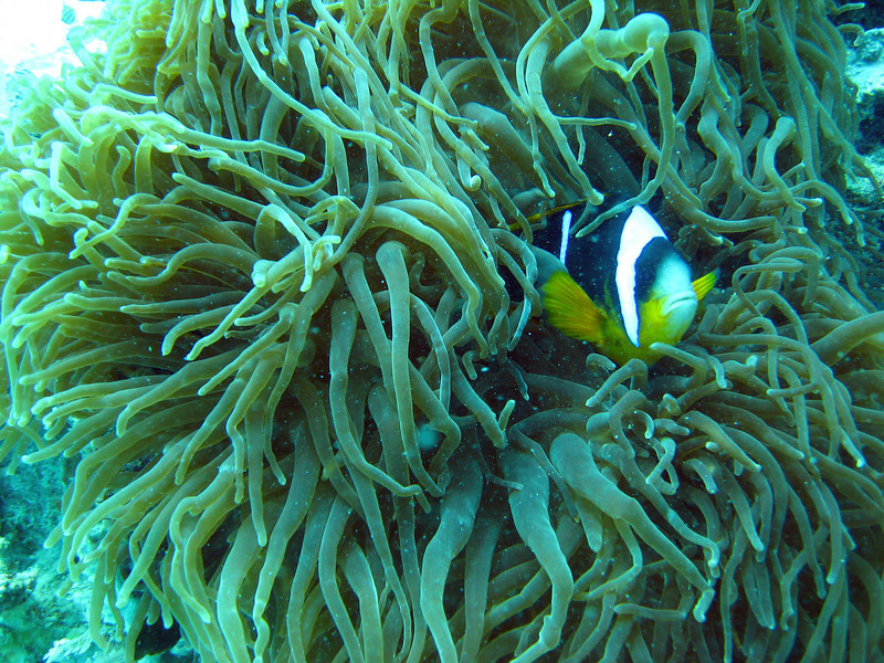 Double Barred Anemone Fish