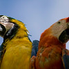 The macaw is a variety of parrot with proportionately larger beaks, and long tails. The Macaws are native to Central America and North America (Mexico), South America an dformerly the Caribbean. Most species are associated with forests, especially rain forests, but others prefer woodland or savannah-like habitats.