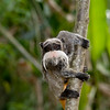 EMPEROR TAMARIN--THE MOUSTACHE MONKEY