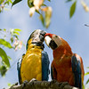 Macaws eat a variety of foods including seeds, nuts, fruits, pal fruits, leaves, flowers and stems. Wild species may forage widely, over 100 km for some of the larger species. Some foods eaten by Macaws contain toxins which they cannot digest. It has been suggested that parrots and macaws in the Amazon Basin eat clay from exposed river banks to neutralize these toxins.