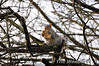 This Grey Squirrel was enjoying his find in a tree in Kneller Gardens, Twickenham. Thurs 19.01.12