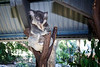 Queensland, Lone Pine - Male koala sitting on top of branch