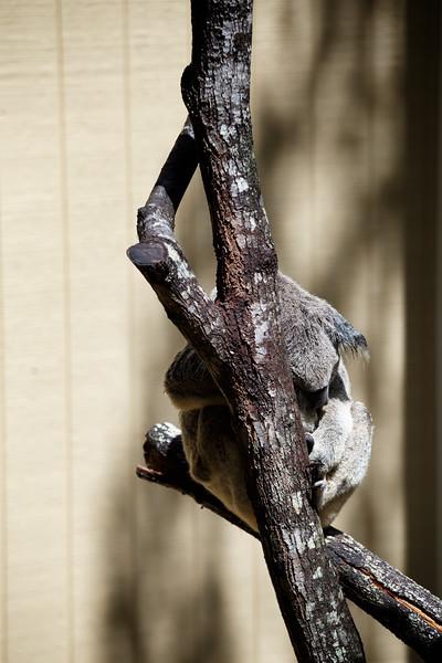 Queensland, Daisy Hill - Koala 2