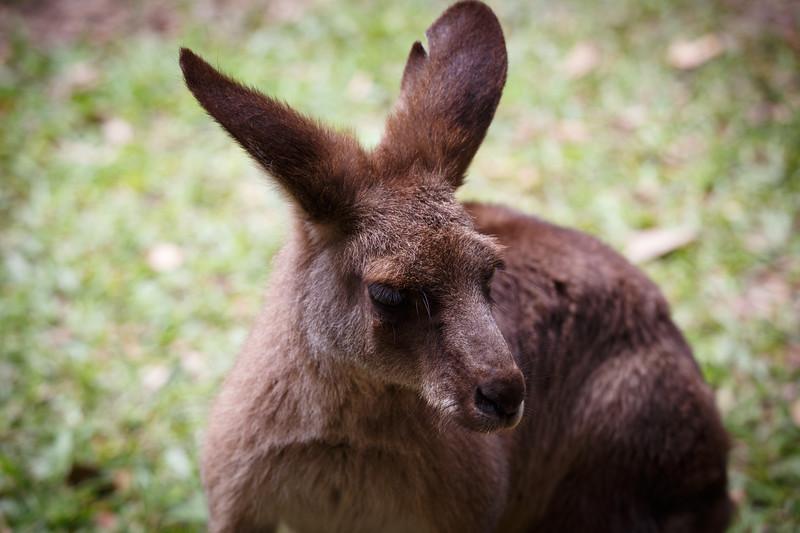 Queensland, Australia Zoo - Kangaroo