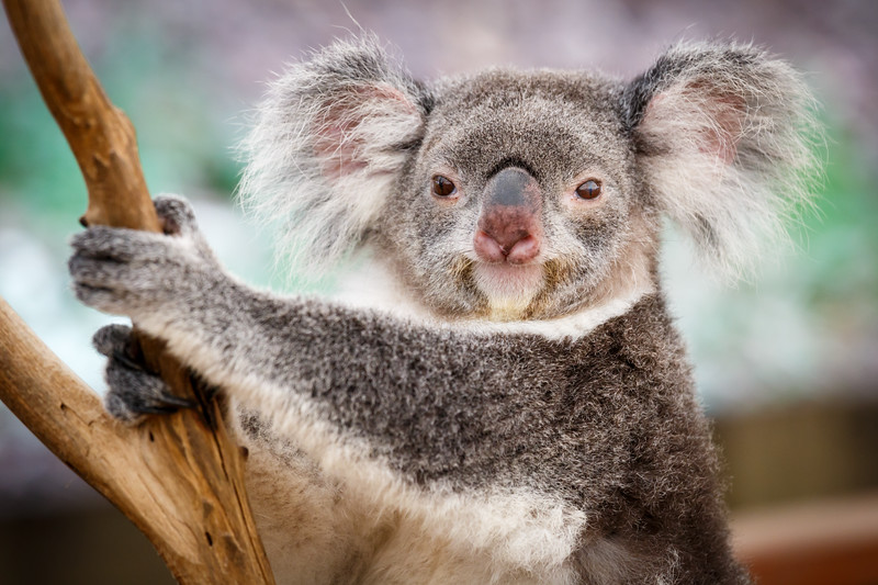 Queensland, Lone Pine - Koala grabbing tree and looking at camera