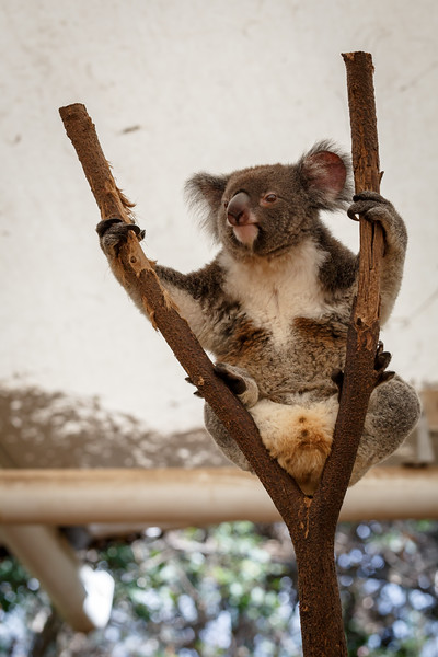 Queensland, Lone Pine - Koala sitting spread eagle
