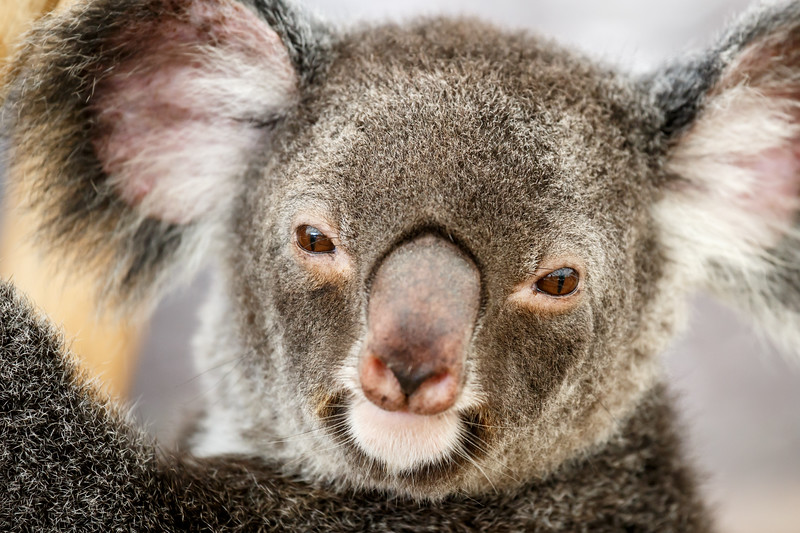 Queensland, Lone Pine - Koala close up