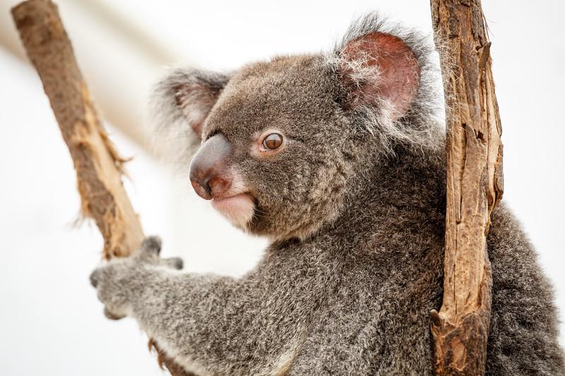 Queensland, Lone Pine - Koala turning head towards camera
