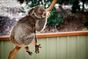 Queensland, Lone Pine - Koala sleeping with arm hanging down