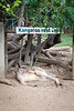 Queensland, Lone Pine - Kangaroo resting under a sign that says Kangaroo Rest Area