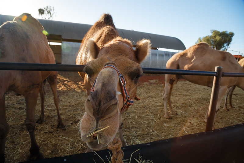 Northern Territory, Uluru - Camels being fed after a ride