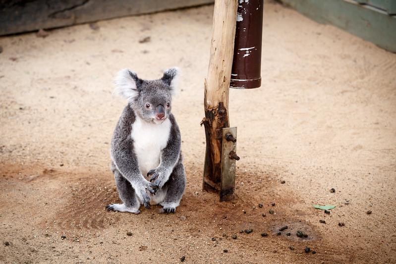 Queensland, Lone Pine - Koala sitting on ground