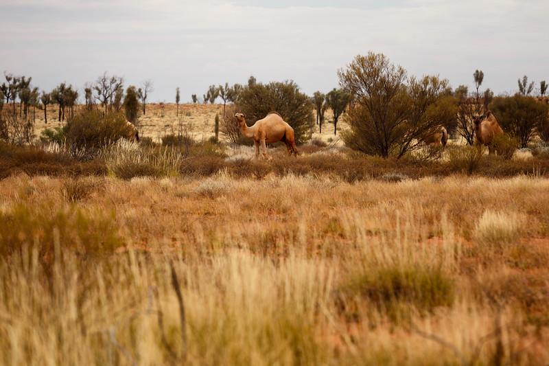 Northern Territory, Kata Tjuta - Wild camels