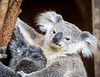 Queensland, Lone Pine - Baby koala with leaf stains on mouth