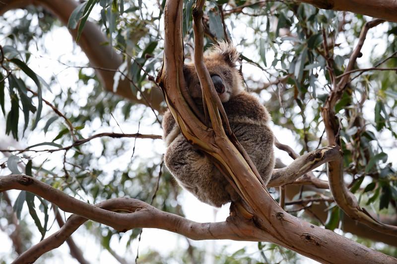 Victoria, Great Ocean Road - Wild koala sleeping in tree