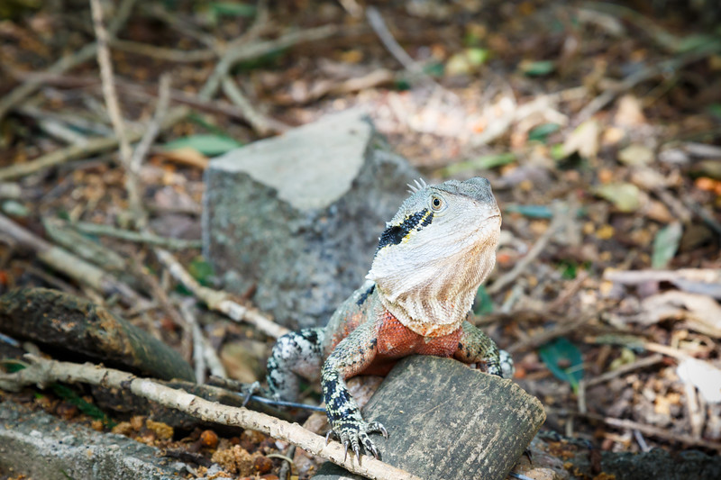 Queensland, Lone Pine - Water dragon