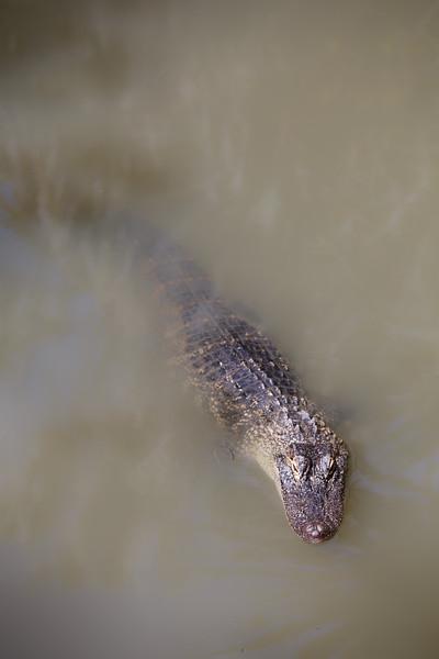 Queensland, Australia Zoo - Crocodile surfacing
