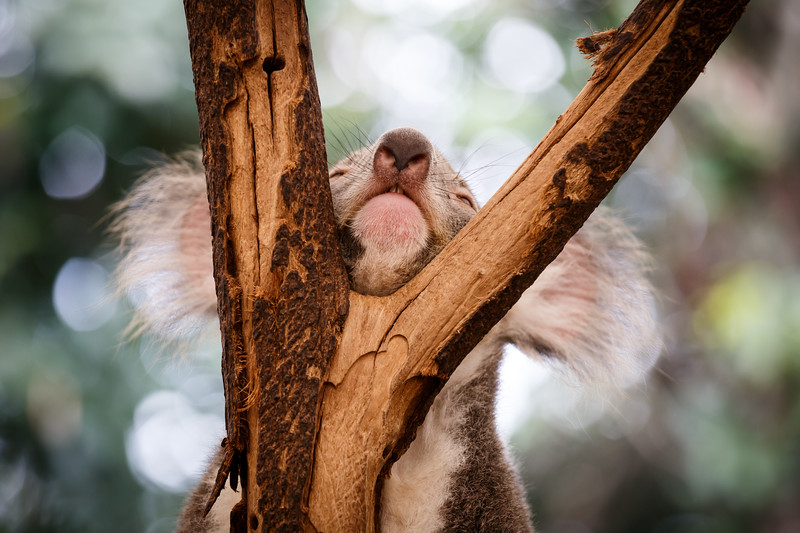 Queensland, Lone Pine - Koala resting chin between two branches