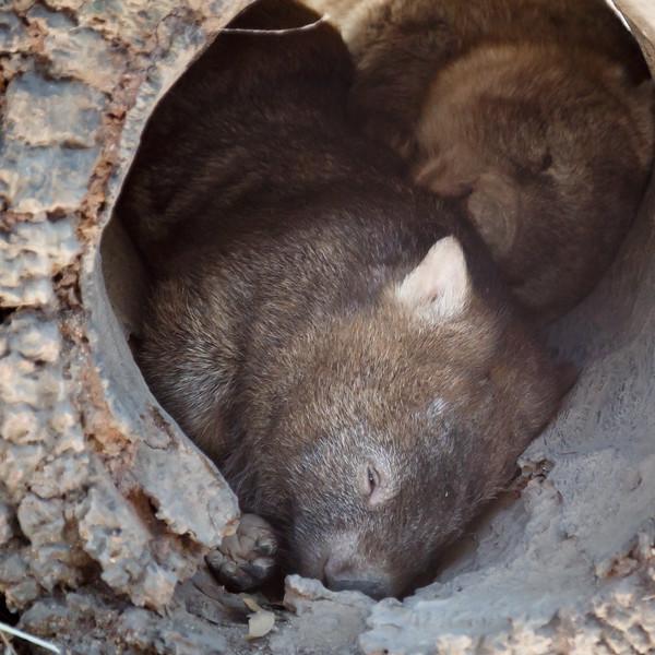 Queensland, Lone Pine - Wombat
