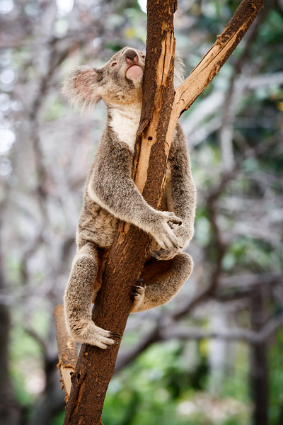 Queensland, Lone Pine - Koala stretching out to scratch chin
