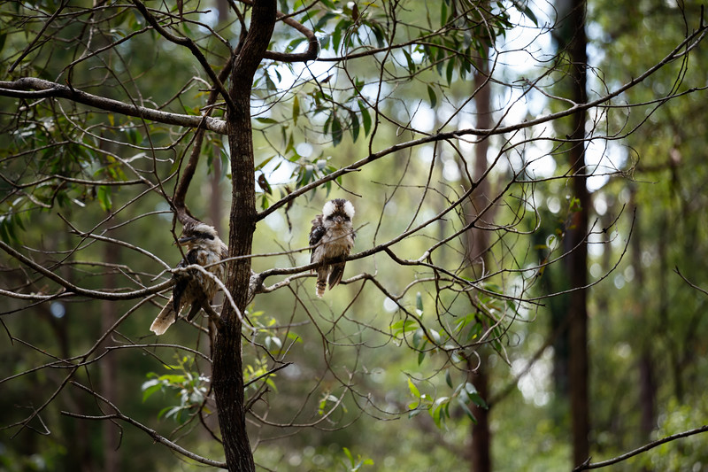 Queensland, Daisy Hill - Kookaburras