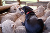 Queensland, Lone Pine - Sheep dog resting on the back of a herd of sheep
