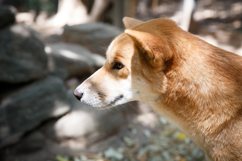 Queensland, Lone Pine - Dingo side profile