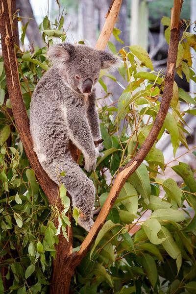 Queensland, Lone Pine - Koala sleeping upright