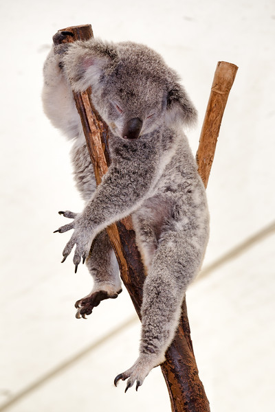 Queensland, Lone Pine - Koala sleeping and hanging over branch