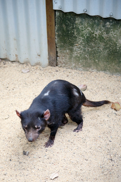 Queensland, Lone Pine - Tasmanian Devil