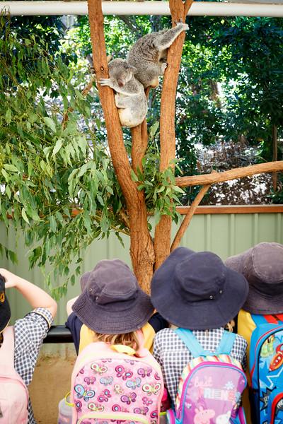Queensland, Lone Pine - School kids observing koalas on field trip