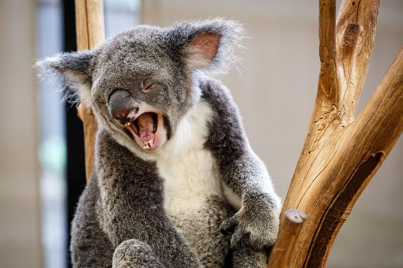 Queensland, Lone Pine - Koala yawning