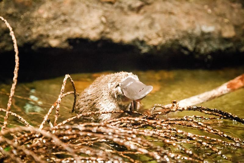 Queensland, Lone Pine - Platypus swimming