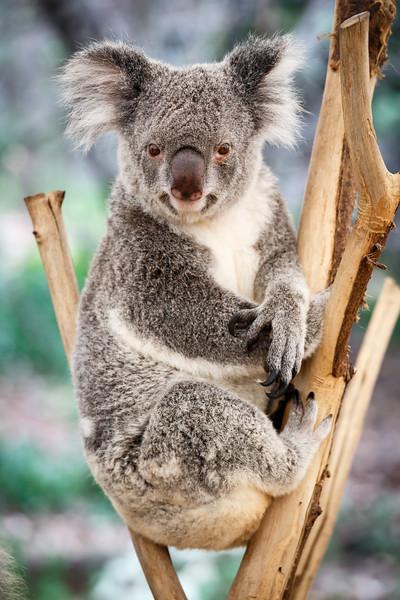 Queensland, Lone Pine - Koala in a formal pose