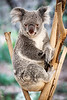Queensland, Lone Pine - Koala in a formal pose